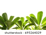 most beautiful green leaves on... | Shutterstock . vector #695264029