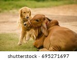 Golden Dog Playing With Thai Cow