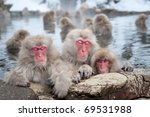 The Famous Snow Monkeys ...