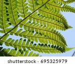 Common Fern In The Photo Is An...