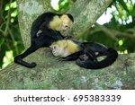 White Faced Capuchin Monkeys
