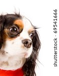 photo of a cavalier king... | Shutterstock . vector #69541666
