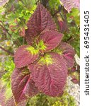 Small photo of Purple coleus leaves closeup