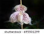 lady's slipper orchid.... | Shutterstock . vector #695501299