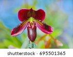 lady's slipper orchid.... | Shutterstock . vector #695501365