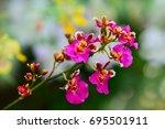 beautiful orchid  flowers  in... | Shutterstock . vector #695501911