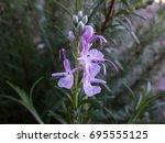 Rosemary Flowers.