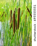 Small photo of Acorus - cattail bush
