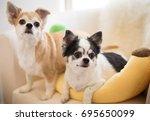 chihuahua dog | Shutterstock . vector #695650099