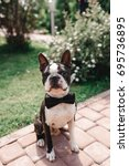 boston terrier posing outside.... | Shutterstock . vector #695736895