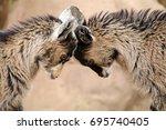 goats | Shutterstock . vector #695740405