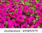Pink Petunia Flowers Bloom In...