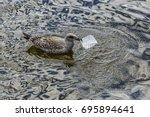 Juvenile Herring Gull Eating...