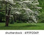 Mature white flowering dogwood tree in full bloom. - stock photo