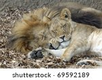 Lion And Lioness Sleeping