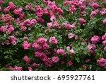 Stock photo pink roses bush 695927761