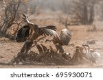 Small photo of White-backed Vulture and Lappet-faced Vulture in Kruger national park, South Africa ; Specie Gyps africanus andTorgos tracheliotos family of Accipitridae