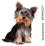 Stock photo yorkshire terrier looking at the camera in a head shot against a white background 69594127