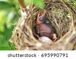 Red Whiskered Bulbul Baby With...