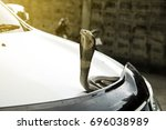 Small photo of Snake Siamese cobra ( Naja kaouthia ) on the lid front hood car color white. In Thailand It is believed that snakes come to lucky or cheap lottery.