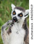 close up of a ring tailed lemur | Shutterstock . vector #696050419
