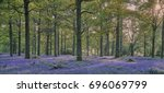 A Bluebell Wood With A Mass Of...