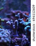 Small photo of Stylophora sps coral in aquarium