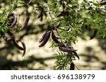 Small photo of Large brown pods of the prickly mimosa, also known as Acacia farnesiana (Vachellia farnesiana)