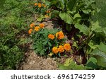 Small photo of Marigold plants nestled between red beet and carrot plants. Marigolds are companion plants and deter nematodes from attacking root crops.