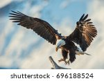 American Bald Eagle Swooping To ...