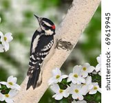Male Downy Woodpecker  Picoide...