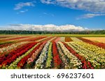 Stock photo field of roses on the background of the blue sky 696237601