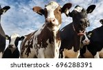 dutch cows | Shutterstock . vector #696288391