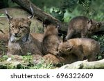 eurasian lynxes  lynx lynx ...   Shutterstock . vector #696322609