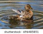 Female Mallard Duck  Anas...