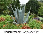 Small photo of Large Agave Palmeri Plant with textured spiky leaves in a landscaped garden bed
