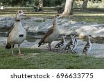 Egyptian Goose Parents With...