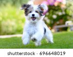 Stock photo an adorable happy puppy caught in motion while running on vibrant green grass in summer 696648019