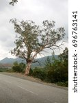 Small photo of beautiful corsican tree