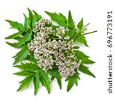 Small photo of Valerian herb flower sprigs isolated on white background