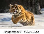 Stock photo siberian tiger running in snow beautiful dynamic and powerful photo of this majestic animal set 696783655