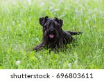 black purebred miniature... | Shutterstock . vector #696803611