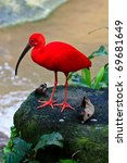 Red Ibis Bird Near The Water O...