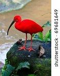 Red Ibis Bird Near The Water O...