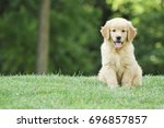 Stock photo golden retriever puppy sitting in green grass isolated 696857857
