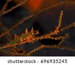 Dragon Shrimps On Wire Coral