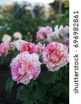 Stock photo beautiful roses in the garden 696982861