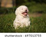 havanese dog puppy | Shutterstock . vector #697013755