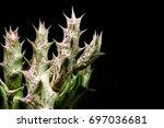 Small photo of Closeup of Cactus Huernia on black background