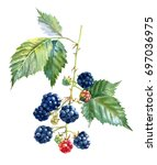branches of blackberry with... | Shutterstock . vector #697036975